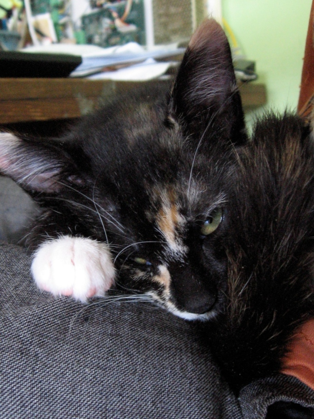 lap cat nap